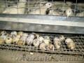 Продам перепела и яйца перепелов Житомир